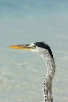Free Grey Heron Maldives Stock Photo - 21025460