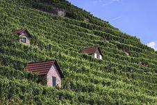 Free Vineyard Royalty Free Stock Image - 21025716