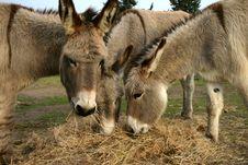 Free Donkeys Eating Hay Stock Images - 21025724