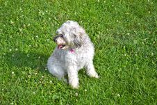Free Schnoodle In Grass Royalty Free Stock Photography - 21025777