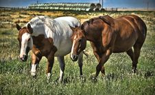 Free Horses Grazing In The Field Royalty Free Stock Photo - 21025865