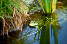 Free Frog In A Natural Environment Stock Image - 21026441