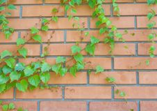 Brick Wall And Ivy Hanging Down On It Stock Photos
