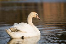 Free White Swan Royalty Free Stock Image - 21027046