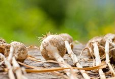 Free Biological Garlics And Onions Royalty Free Stock Photo - 21027205