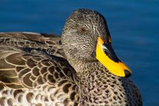 Duck Close Up Stock Photo