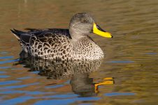Free Yellow-billed Duck Stock Photography - 21027602