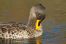 Free Preening Duck Stock Photos - 21027663
