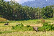 Free Herd Of Buffalos On Vacant Rice Field Stock Photography - 21028222