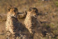 Free Cheetah Brothers Royalty Free Stock Photos - 21028498