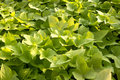 Free Green Leaves Plant Royalty Free Stock Image - 21032466