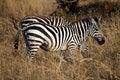 Free Zebra Royalty Free Stock Images - 21035559