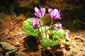 Free Forest Cyclamen Stock Photo - 21036000