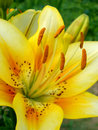 Free Lilies Royalty Free Stock Images - 21036089
