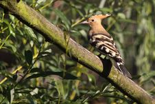 Free Hoopoe Royalty Free Stock Photo - 21030785