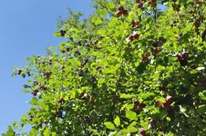 Free Apple Tree Sky Royalty Free Stock Photo - 21032505