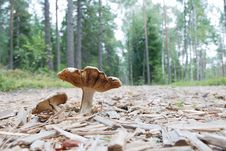 Free Agaric Mushrooms In Natural Enviroment Stock Photography - 21035312