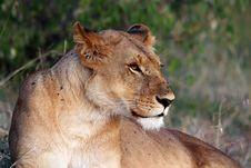 Free Lion Royalty Free Stock Photo - 21035375