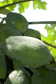 Free Papaya Stock Photography - 21035382