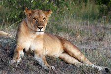 Free Lion Royalty Free Stock Image - 21035416