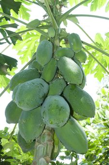 Free Papaya Royalty Free Stock Image - 21035526