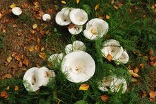 Free Agaric Mushrooms In Natural Enviroment Stock Photos - 21035553