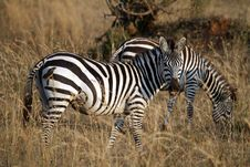 Free Zebra Stock Image - 21035591
