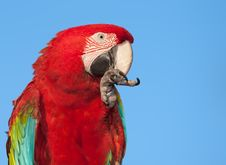 Free Macaw With Copy Space. Royalty Free Stock Photos - 21035878