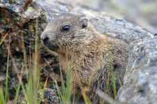 Free Young Marmot Royalty Free Stock Photos - 21035898
