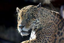 Free Jaguar. Hidden Anger. Stock Photos - 21036003