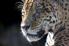 Free Jaguar. Hidden Anger. Stock Photography - 21036052