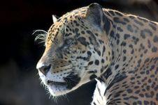 Free Jaguar. Hidden Anger. Royalty Free Stock Photos - 21036058