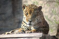 Free Jaguar. Hidden Anger. Stock Image - 21036061