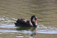 Free Black Swan. Stock Photos - 21036123
