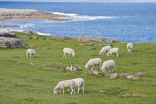 Free Sheep On Irish Coastline Stock Photo - 21036210