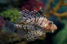 Free Lionfish Royalty Free Stock Photos - 21036848