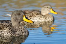 Free Two Yellow-billed Ducks Royalty Free Stock Photography - 21036887