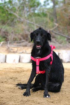 Free Black Dog Stock Photos - 21037123