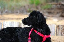 Free Black Dog Stock Photo - 21037160