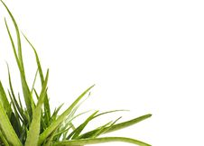 Free Aloe Vera Stock Photo - 21037970