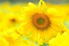 Free Sunflower Royalty Free Stock Photo - 21038395