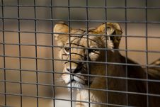 Free Young Lion Behind A Fence Stock Images - 21038674
