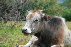 Free Cow Stock Photo - 21038690