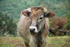 Free Cow Stock Photos - 21038693