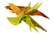 Free Corncobs In Husk. Stock Photos - 21038893