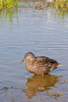 Free Duck Stock Image - 21039191