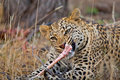 Free Hungry Leopard Royalty Free Stock Image - 21042046