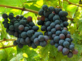 Free Two Grape Clusters Royalty Free Stock Image - 21047116
