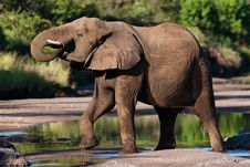 Free Drinking Elephant Bull Stock Photos - 21040183