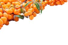 Free Branch Of Sea-buckthorn Berries Royalty Free Stock Photo - 21040185
